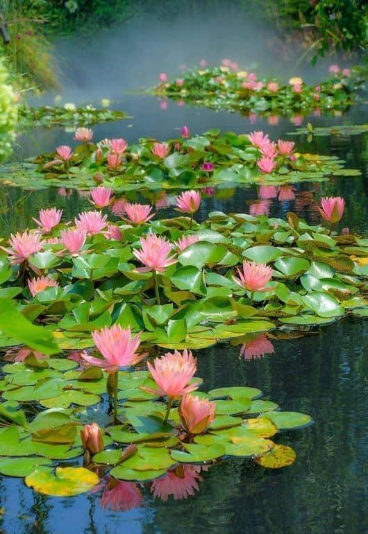 flor de lótus canteiro