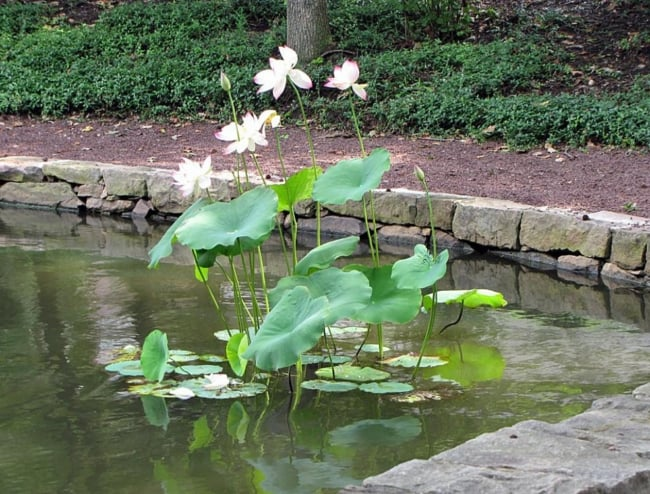 flor de lótus em lago