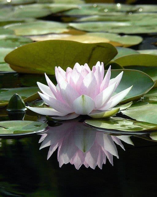flor de lótus linda