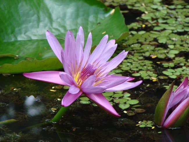 flor de lótus na agua