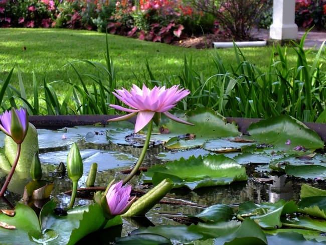 fotos de flor de lótus