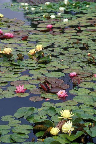 ideia de flor de lótus