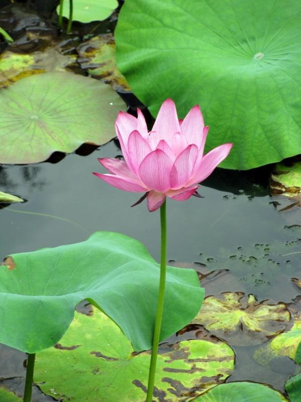 imagem de flor de lótus