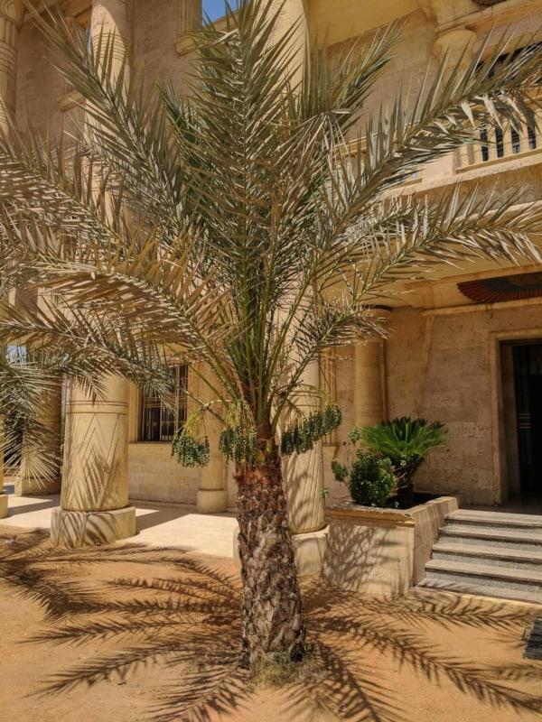 A tamareira é comum no Egito