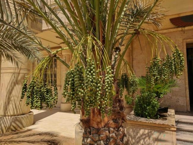 A tamareira deixa a decoração externa exótica
