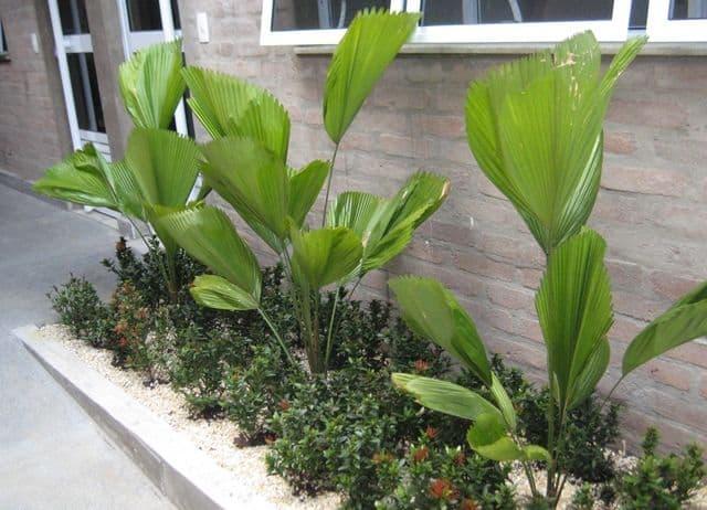 Canteiro com plantas e palmeiras leque