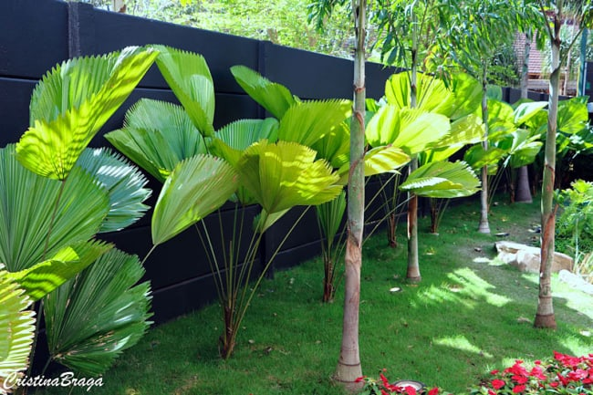 Cerca viva em jardim residencial com palmeira leque