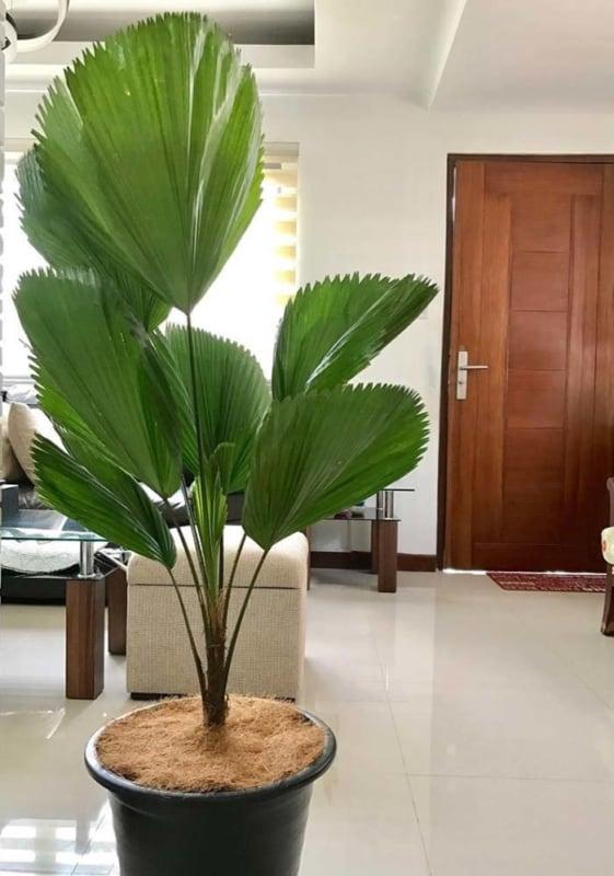 Decoração de casa com palmeira leque