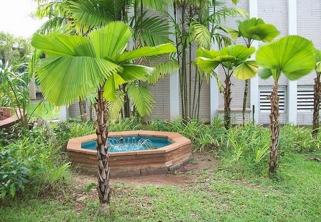 Palmeira Licuala deixa o jardim mais bonito