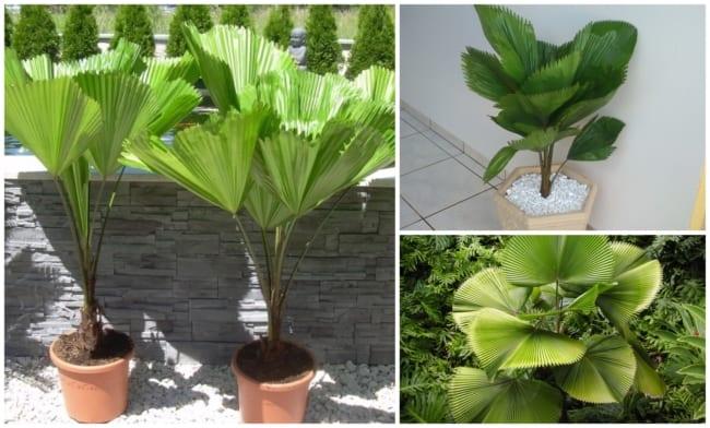Palmeira leque 1