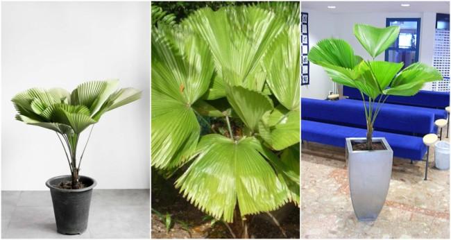 Palmeira leque 2