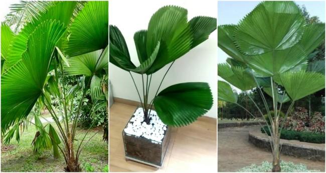 Palmeira leque 3