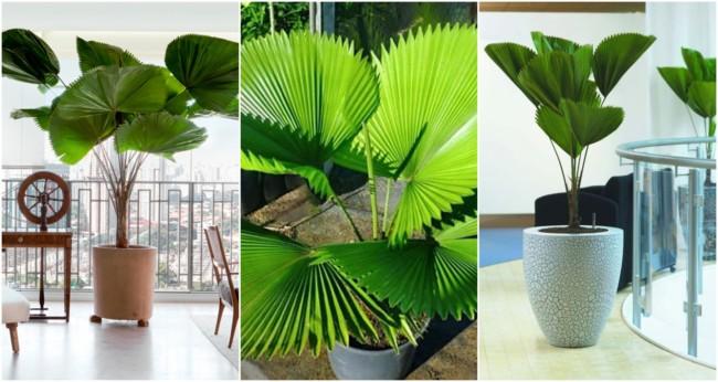 Palmeira leque 4