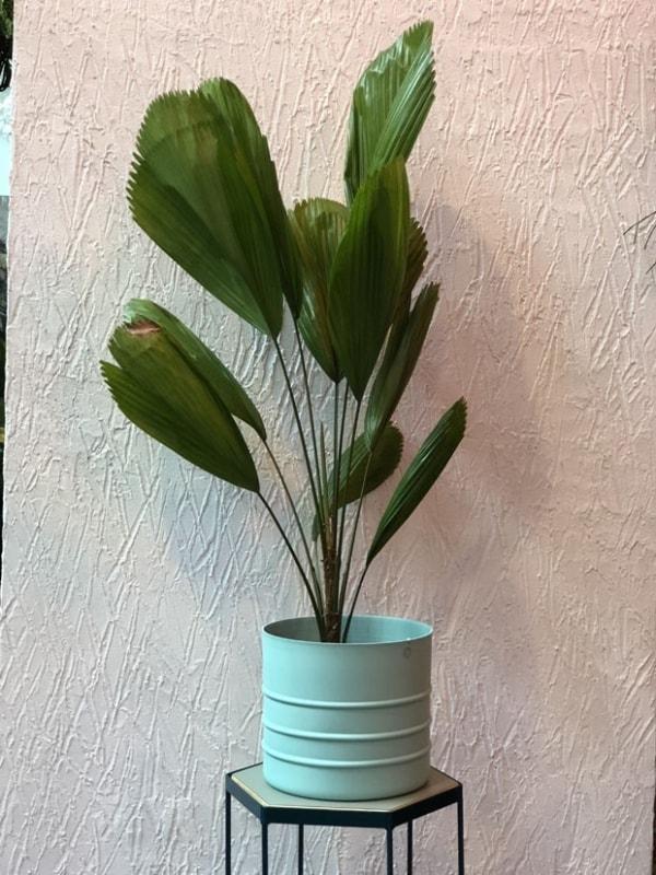 Palmeira leque em vaso pequeno