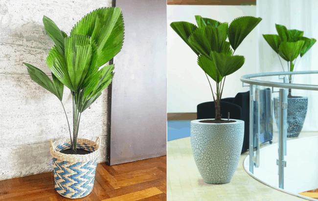Palmeiras leque em vasos diferentes para decorar