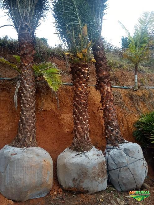 Tamareira é um tipo de palmeira com frutos comestíveis