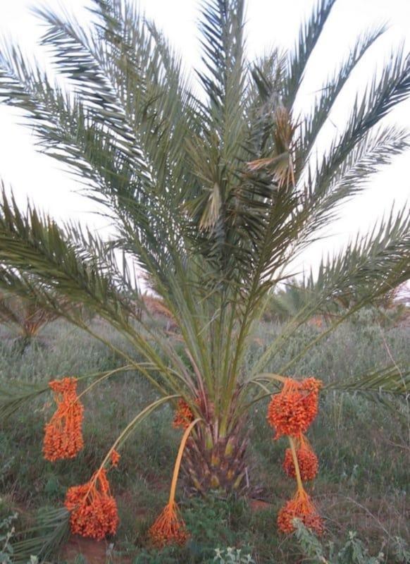 Tamareira phoenix dactylifera