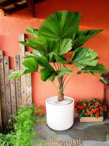 Varanda com palmeira leque