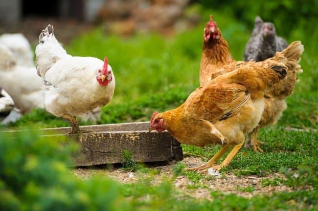 Como criar galinha