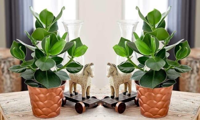 clusia na decoração em mesas