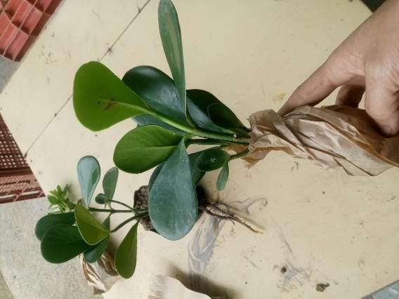 como cultivar clusia