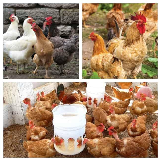 criação de galinha 1
