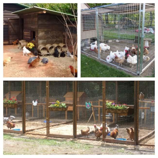 criação de galinha em galinheiro