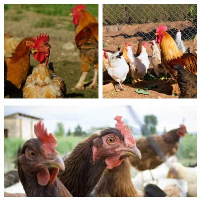 criação de galinha na cidade