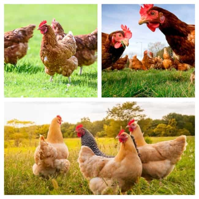 criação de galinha solta