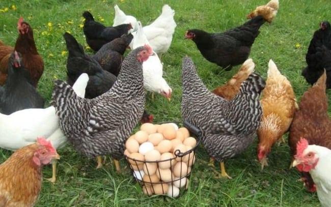 criação de galinha