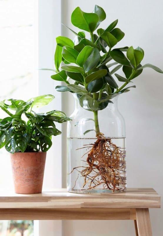 decoração com clusia em vaso
