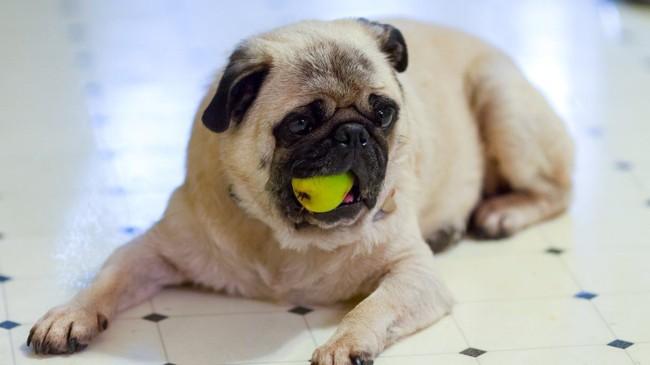 cachorro pode comer pera