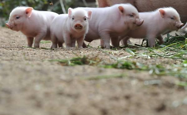 Criação de porcos em casas