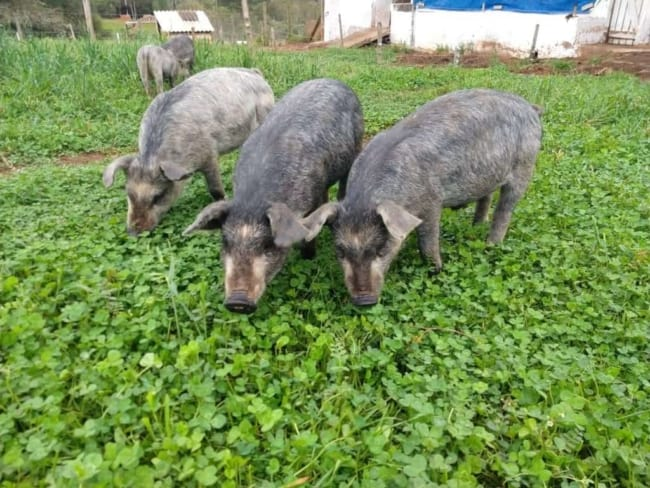 Criação de porcos em chiqueiros