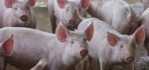 como criar porcoss