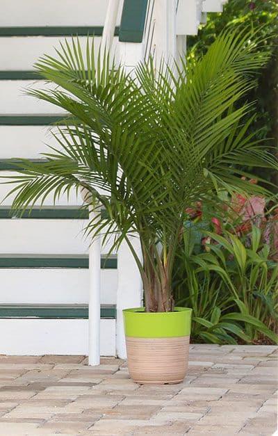 Areca Bambu como cuidar