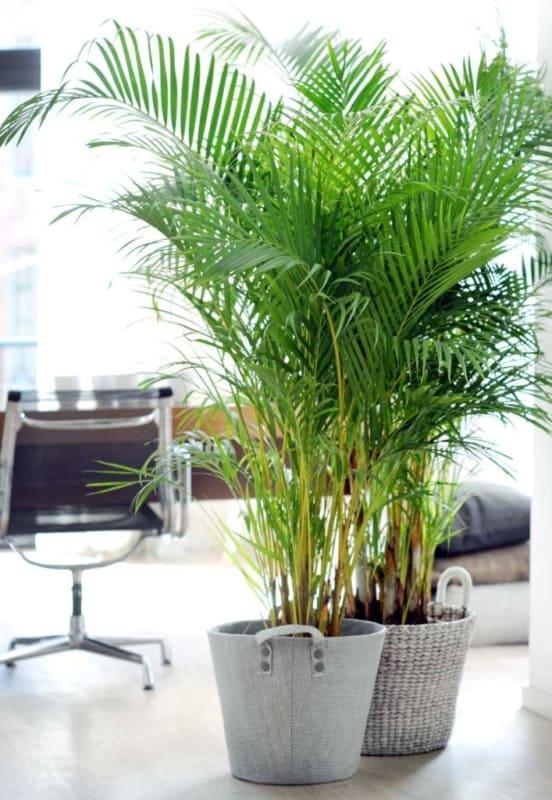 Areca Bambu em escritorio