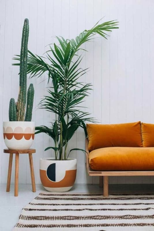 Areca Bambu em vaso