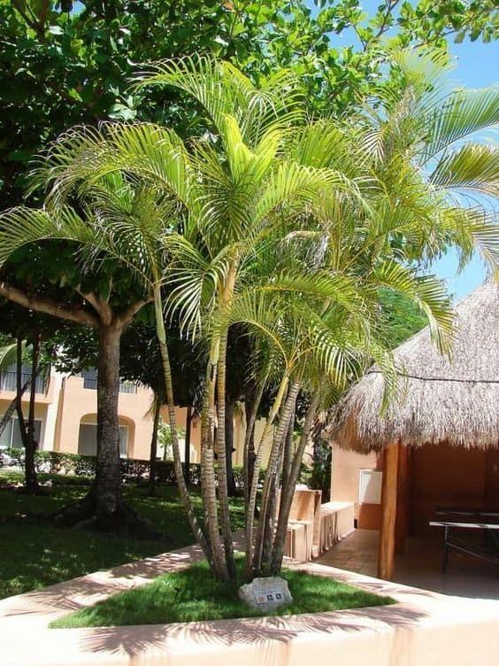 Areca Bambu grande