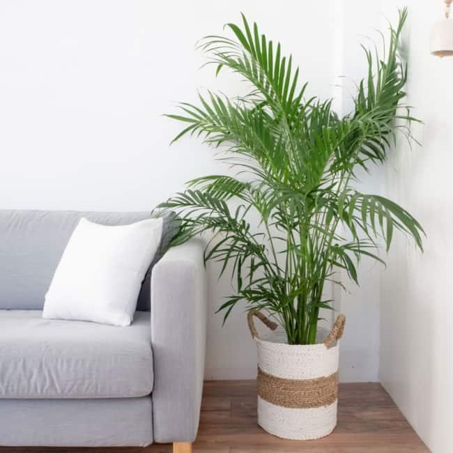 Areca Bambu na decoração da sala