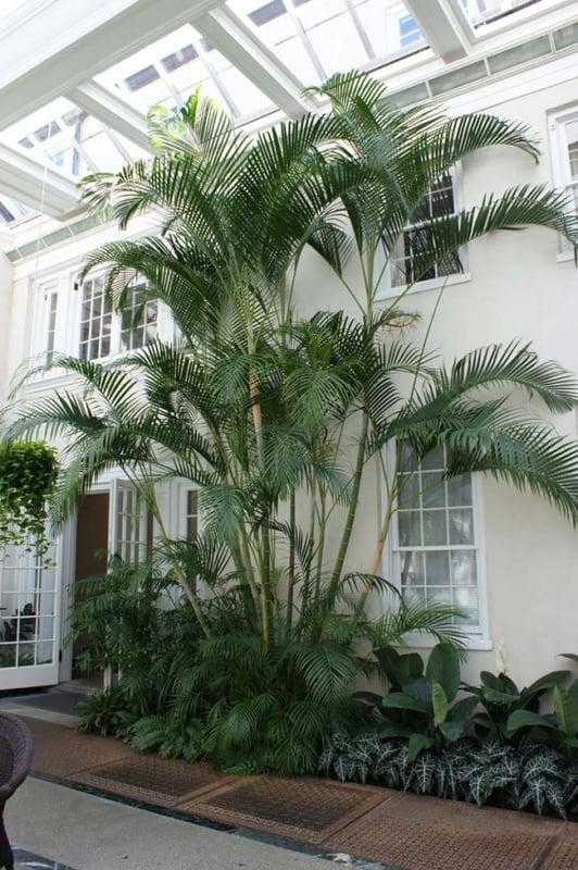 Areca Bambu na entrada da casa