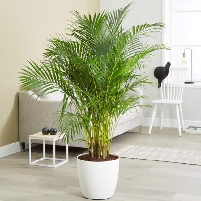 Areca Bambu na sala