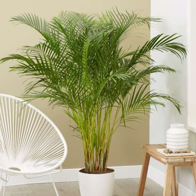 Areca Bambu na varanda