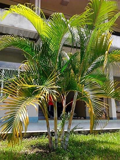 Areca Bambu no jardim