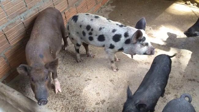 Chiqueiro de porcos