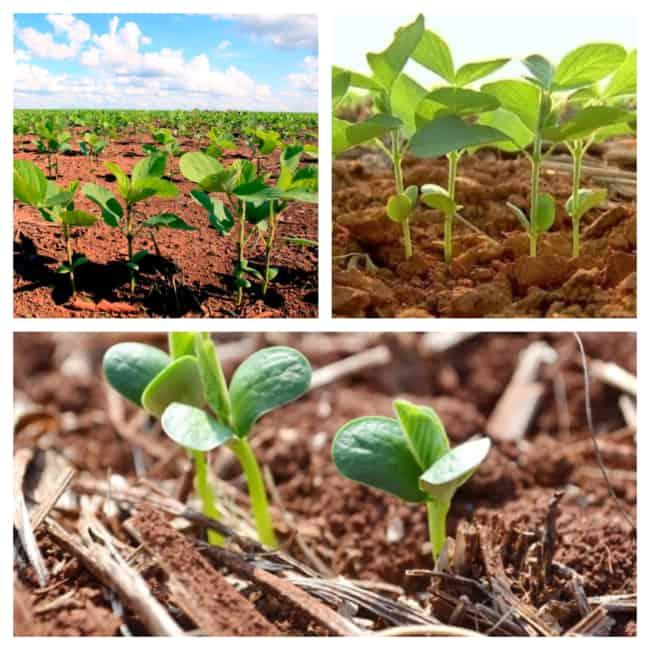 Como fazer uma Plantação de Soja passo a passo