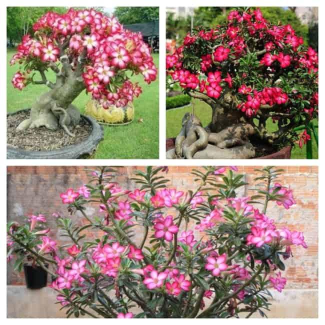 Flor do deserto em vaso