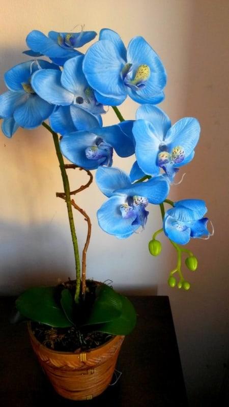 Lindo vaso de Orquídea Azul