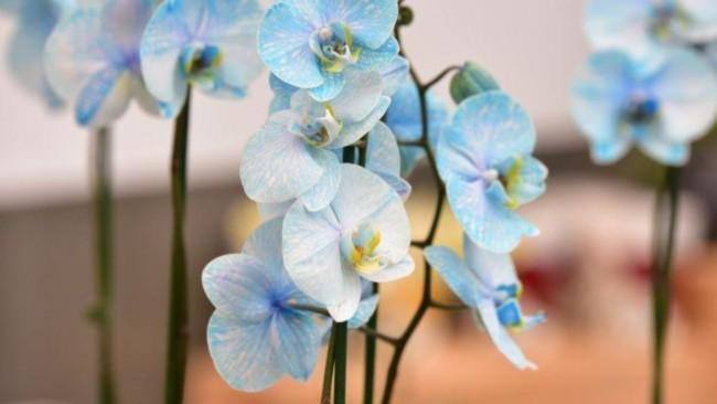 Orquídea Azul clara