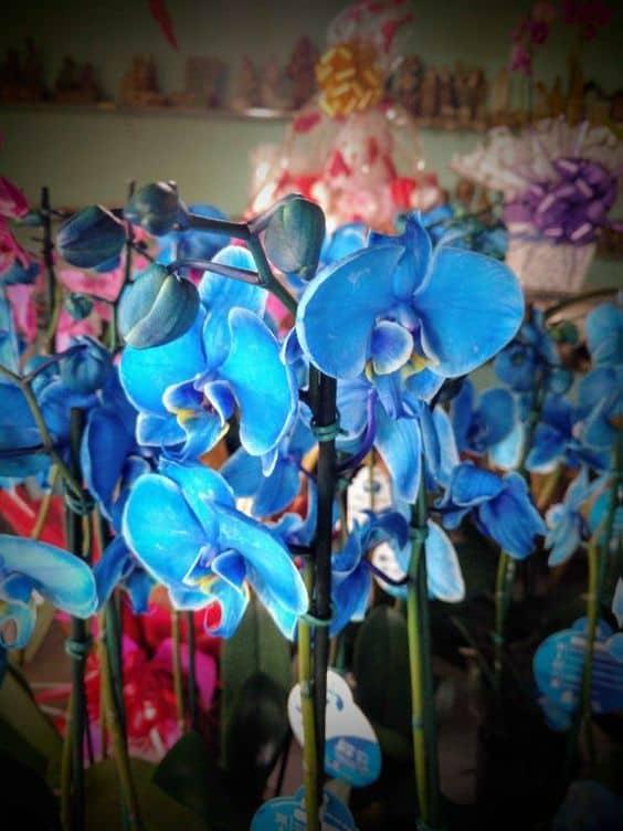 Orquídea Azul como cuidar